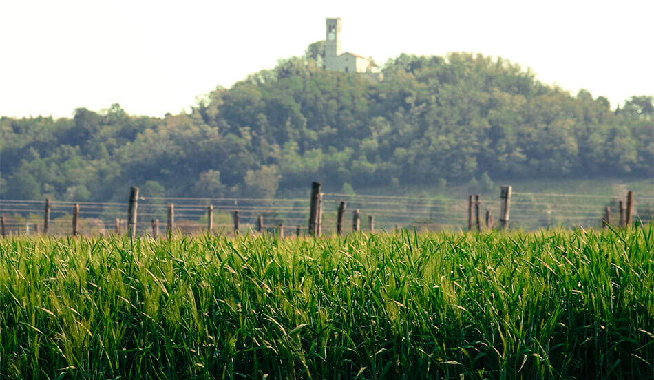 Borgo San Daniele_vigna
