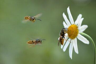 Le vespe sono afrodisiache per i leviti